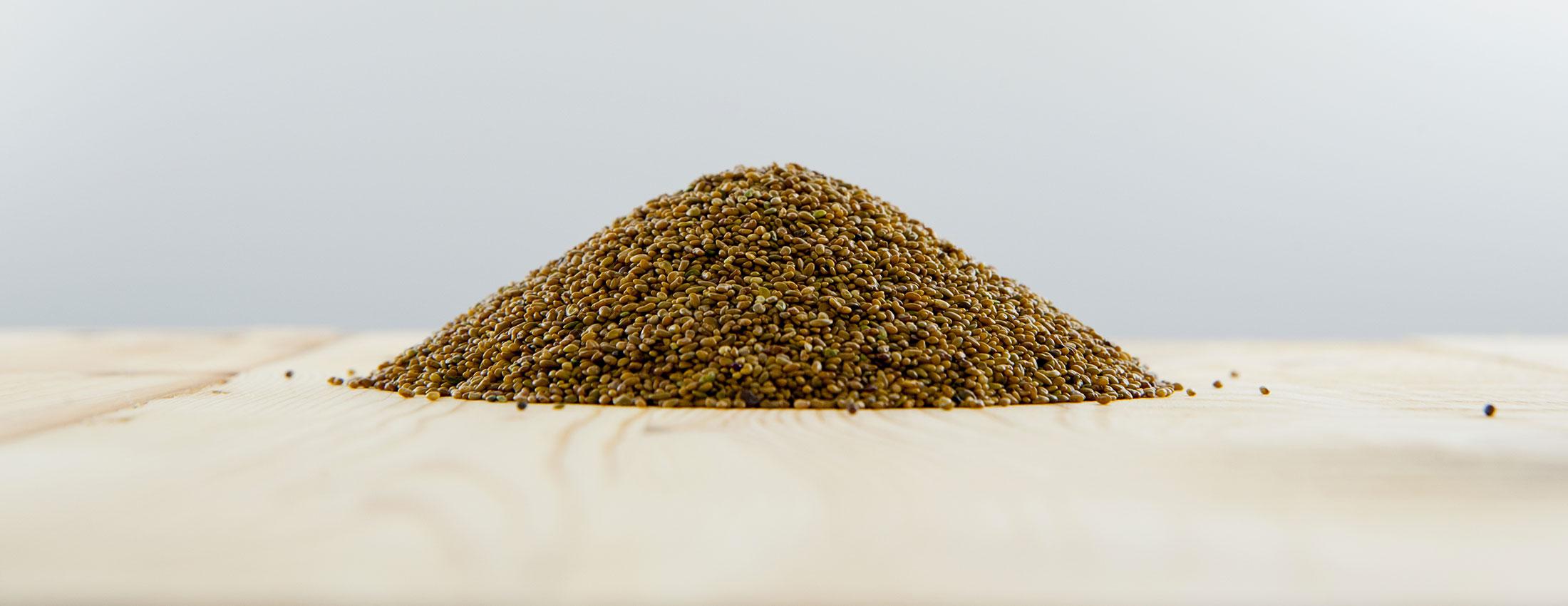 graines luzerne germer biologique VERTige alfalfa germination