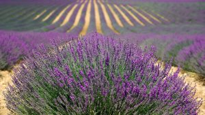 lavande fleur biologique clef champs lavender traitement agitation insomnie