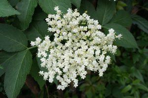 sureau fleur elderberry biologique clef champs rhume