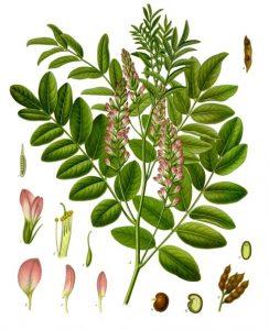 plante reglisse biologique clefs champs inflammation voies respiratoires plante medicinale herboristerie
