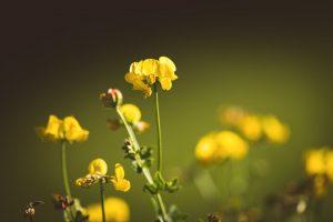 fenugrec plante medicinale origine historique biologique afrique mediterraneen