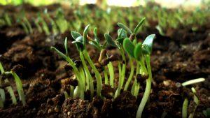 pousses germination fenugrec biologique utilisations culinaires recettes