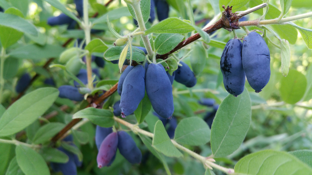 camerise fruit seche quebec antioxydants radicaux libres protection