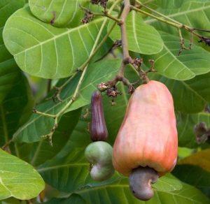noix cajou pomme cajou faux fruit anacardier arbre bresil