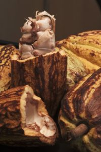 feves cacao cabosses fruit recolte eclat cacao cru