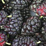 baies mures fruit biologique recolte origine