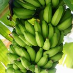 banane fruit seche biologique sucree recolte origine philippines