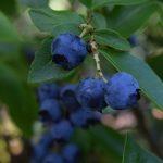 bleuets seches biologiques fruit origine quebec recolte