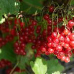 canneberges sechees biologiques plant recolte culture origine amerique nord