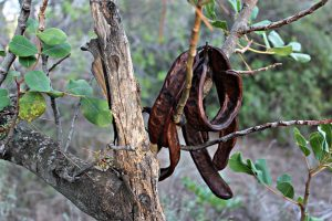 caroubier arbre fruit caroube gousses longevite antiquite syrie egypte diarrhee