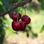 cerises sechees biologiques fruit antioxydant recolte plant origine
