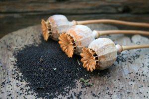 graines pavot biologiques fleur capsules plante nature origine recolte