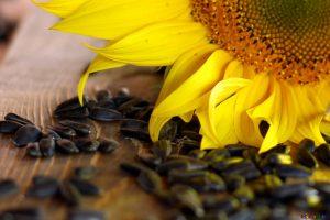 graines tournesol crues biologique recolte fleur origine bulgarie